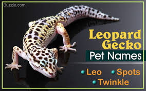 Do Baby Leopard Geckos Shed by 81 Really Cute Names For Your Pet Leopard Gecko