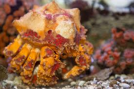 Halloween Hermit Crab Lifespan by News U0026 Announcements Oregon Coast Aquarium