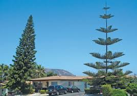 Types Of Christmas Trees With Pictures by Pacific Horticulture Society The Araucaria Family Past U0026 Present