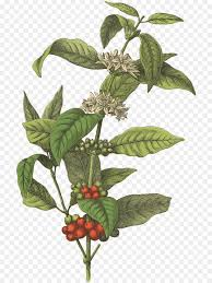 Coffee Bean Cafe Botanical Illustration Arabica