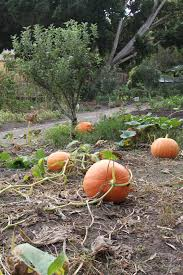 Atlantic Giant Pumpkin Growing Tips by A Harvest Of Melons And Pumpkins Sydney Living Museums