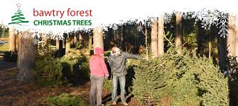 Christmas Tree Species Usa by Christmas Trees At Bawtry Forest Doncaster Yorkshire And Botany