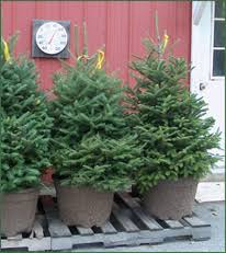 Potted Christmas Tree by Pleasant Valley Tree Farm Cut Your Own And Pre Cut Christmas Trees
