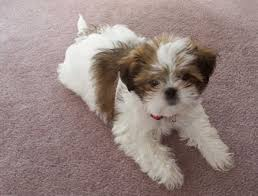 Small Dogs That Dont Shed by Cute Apartment Dog Breeds Couch Potato Dog Breeds Hound Advice