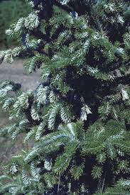 Christmas Tree Has Aphids by The Christmas Tree Traditions Production And Disease