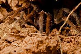 Do Tarantulas Shed Their Legs by Tarantula Philip U0027s Blog