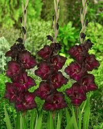 gladiolus espresso bulbs corms buy black gladioli bulbs