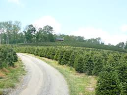 Fraser Fir Christmas Trees Nc by Coastal Evergreen Tree Farms North Carolina Fraser Firs