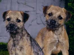 Do Border Terriers Shed by Border Terrier Dogs Border Terrier Dog Breed Info U0026 Pictures Petmd