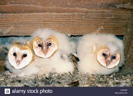 Baby Barn Owls (Tyto Alba Stock Photo, Royalty Free Image ... Barn Owl Focus On Cservation Best 25 Baby Ideas On Pinterest Beautiful Owls Barn Steal The Show As Day Turns To Night At Heartwood Family Ties Owl Chicks Let Their Hungry Siblings Eat First The Perch Uncommon Banchi Baby Coastal Home Giftware From Horizon Stock Image Image Of Small Young Looking 3249391 You Know Birdnote Banding By Alex Lamoreaux Nemesis Bird