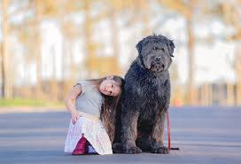 List Of Dogs That Shed Hair by Bouvier Des Flandres Dog Breed Information Pictures
