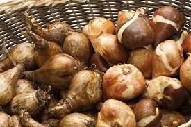storage of daffodil bulbs how to cure daffodil bulbs for replanting