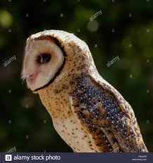 Old Barn Owl Standing Twelve Weekold Barn Owl Side View Stock Photo Getty Images Boxes South Downs National Park Authority Old Man Of Minsmere Aka John Richardson Gorgeous Birds In Folklore Owls And Ravens Randomdescent Orbit The 5 Weekold Baby Who Has Been Hand Ared By Owl Wikipedia Coda Falconry On Twitter Our 7 Week Old Barn Was Bred At Dont Go Deaf New Zealand Geographic Australian Masked Rescuing Owls Tropic Wonder Audubon Art Print Vintage Nature Bird Eyfs Blog Archive Wise