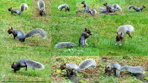 Squirrel Nut Burying Frenzy - YouTube Qa More Help For Dogfriendly Gardens Sunset Beetles Backyard And Beyond Page 6 Best 25 Dog Backyard Ideas On Pinterest Potty Bathroom What To Do With Your Pets Remains After Death I Used Concrete Blocks As Planters To Keep My Dog From Digging 26 Burrowing Animals Pictures You Need See Right Now Man Admits Shooting Burying In Westside Jacksonville Is Your A Bone Or Other Objects Gotta Find That Peanut Bury It My Wildlife Squirrels Burying Nuts Documentary Youtube Mountain Lion Deaths Creasing Near Santa Monica Mountains Abc7com Squirrel Nut Frenzy