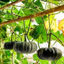 Varieties Of Pumpkins Uk by When To Plant Pumpkins For Halloween Bt