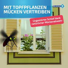pflanzen gegen mücken diese pflanzen befreien ihr