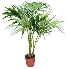 kentia palme howea forsteriana zimmerpflanze sehr pflegeleicht gesamthöhe 100 120cm topf ø 17cm