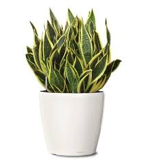 Small Plants For The Bathroom by 10 Plants For Your Bathroom The Grey Home