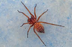 Learn About Orb Weaver Spiders, Family Araneidae Barn Spider Photography Nature Pinterest Update Spiders Still Dont Bite Arthropod Ecology Beneficial In The Landscape 49 Bana Nephila Tegenaria Domestica Wikipedia Grass Spiders At Spiderzrule Best Site World About Spiderlings Eat Mother Youtube Myths Burke Museum What Are Some Common Montana Animals Momme 7 Bug And Squashed National Geographic Society Blogs Neighbourhood Agriculture Food Molting