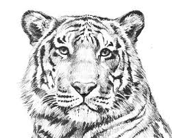 Tiger Printable Coloring Pages 15 Pinterest