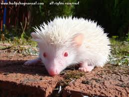 the 25 best baby hedgehogs for sale ideas on pinterest diy