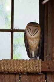 77 Best Barn Owl Inn Images On Pinterest | Barn Owls, Owl And Wood White Screech Owl Illustration Lachina Bbc Two Autumnwatch Sleepy Barn Owl Yoga Bird Feeder Feast And Barn Wikipedia Attractions In Cornwall Sanctuary Wishart Studios Red Eastern By Ryangallagherart On Deviantart Owlingcom Biology Birding Buddies 2000 Best 2 Especially Images Pinterest Screeching Youtube