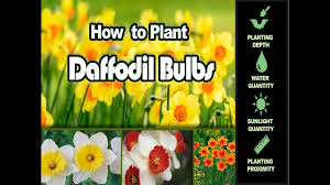 winter flower bulbs how to plant daffodil bulbs the easy way in