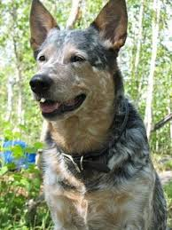 australian cattle dog breed information and pictures