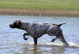 German Wirehaired Pointer Shedding by German Wirehaired Pointer Breed Information And Pictures On
