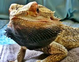 Bearded Dragon Shedding A Lot by Bearded Dragon Care Bearded Dragon Behavior