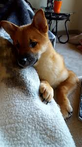 Do Shiba Dogs Shed by What U0027re You Doing Human