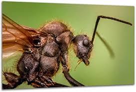 ameise makro wandbild tier insekt nahaufnahme exklusiver