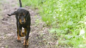 Do Black And Tan Coonhounds Shed by 30 Least Expensive Dog Breeds Gobankingrates