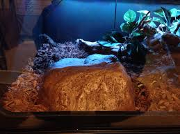Improper Shedding Bearded Dragon by Kalatoa 100 Pure Sd Retic Progression Pic Heavy Page 14