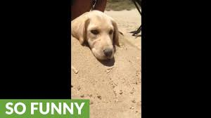 Puppy Loves To Be Buried In Sand - YouTube How To Install Invisible Dog Fence Wire Youtube To Bury A Pet In 6 Simple Steps Digging Create A Sandbox Just For His Digging I Like The Build Sandbox And They Will Come Thepetdoctormbcom New Ny Law Allows People Be Buried With Pets Peoplecom Burial Funerals Malaysia Transparent Pricing Your Trusted Puppy Loves Be Buried In Sand When Pet Is Dying Owners Face Options Deputies Dig Grave Help Woman Dead Dog Two Boys Backyard Burying Bird Stock Photo Getty Images Yard That Himself Alive While Chasing Skunk Line