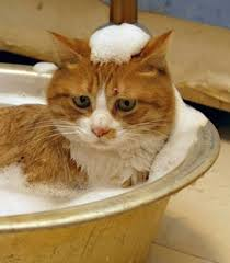 bathing cats cat bathing tips cats chaos and confusion
