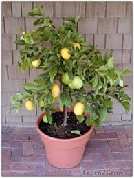 growing citrus indoors citrus gardening