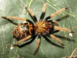 Pumpkin Patch Tarantula Bite by July 2017 Tarantula Of The Month Poecilotheria Ornata Tarantulas