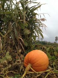 Denver Area Pumpkin Patches by Ten Pumpkin Patches And Festivals To Carve Into Your Colorado