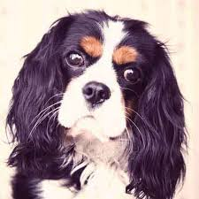 Do Brittany Spaniels Shed Hair by How Much Do English Springer Spaniels Shed Petcarerx
