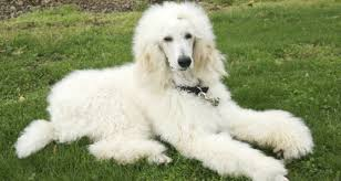 List Of Non Hypoallergenic Dogs by Hypoallergenic Dog Breed And Photos Fallinpets