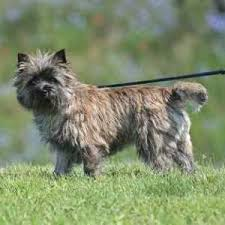 Low Shed Dog Breeds by 29 Small Non Shedding Dog Breeds