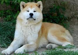42 best akita images on pinterest akita dog dogs and akita puppies
