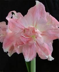 amaryllis flower bulb index