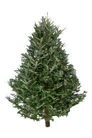 Fraiser Fir Christmas Trees