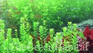 bacopa monnieri moneywort live aquarium freshwater plants java