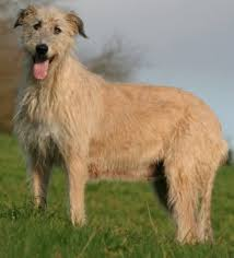 Non Shedding Large Dogs by Irish Wolfhounds What U0027s Good About U0027em What U0027s Bad About U0027em