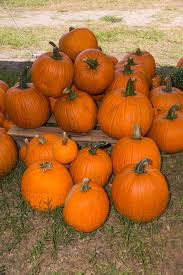 Pumpkin Patches In Colorado Springs 2014 by Find Pick Your Own Pumpkin Patches In Florida Corn Mazes And