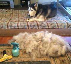Dogs That Shed Hair by Furminator Pet Hair Solutions Not Only Reduce Shedding They Also
