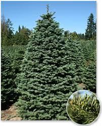 Nordmann Fir Christmas Tree Nj by Real Christmas Trees Green Valley Christmas Trees